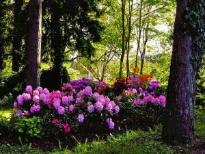 Massif of rhododendrons in the undergrowth of the castle