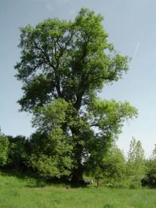L'albero di frassino Big notevole Uncategorized