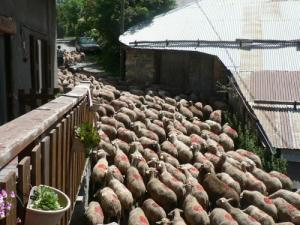 Flock of sheep in the 'Osselin (locality of Baratier)