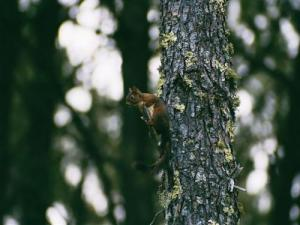 squirrel in the pine forest of Biscarrosse