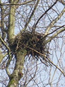 The nest of the red kite