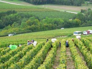 The harvest in great vintages