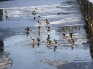 The Pond joy is frozen ducks