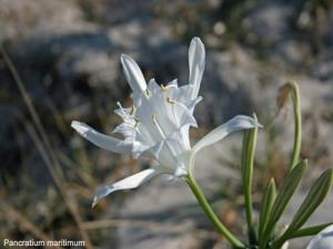 Pancratium maritimum on the dunes (© JE)