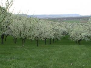 plum flowers at the foot of the Meuse Hills