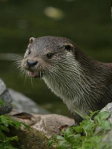 Otters - Centrum herintroductie Hunawihr