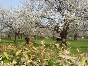 The orchards. flowers in April