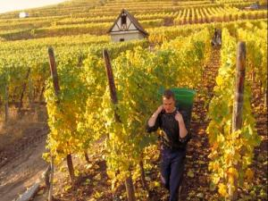 Harvest in Sigolsheim