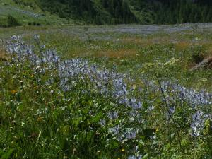 At Deslioures, at the end of July, the meadow reflects the sky by the abundance of the Queens of the Alps