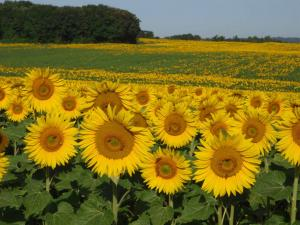 Fields of Sunflower
