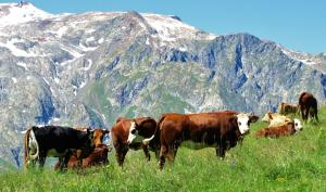 The altitude cows