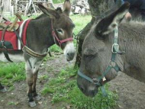 Breeding and hiking with donkeys