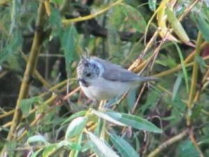 The titmice came to Coudray-Saint-Germer