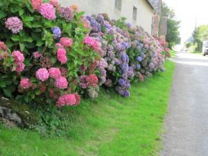 Hydrangeas for Routis
