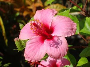 Martinique Island Flower : hibiscus