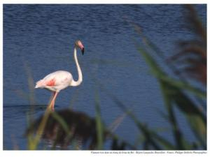Flamingo in a pond at the exit of Grau-du-Roi