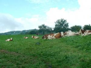 Some peaceful cows
