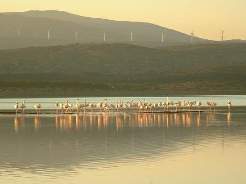 Leucate - Flamingos on the pond of Salses-Leucate