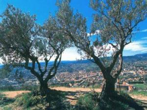 Olive trees on the Mont d'Or hill