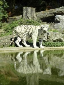 The white tiger at zoo Maubeuge
