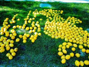 Lemons, they litter the ground at Menton! (© Jean Espirat)