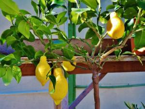 Lemon tree at Menton (© Jean Espirat)