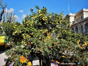 Lemon tree in Menton (© Jean Espirat)