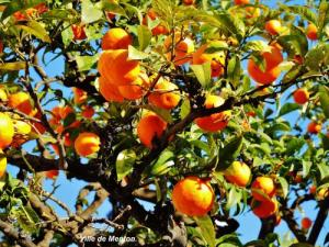 Orange tree loaded with fruit in the city (© Jean Espirat)
