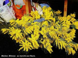 Mimosa at the flower market (© Jean Espirat)