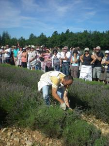 lavender festival - with a sickle cutting competition