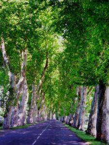 Alley of plane trees (OT © Chalaronne Saone Valley)