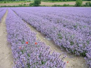Valensole plateau of lavender fields