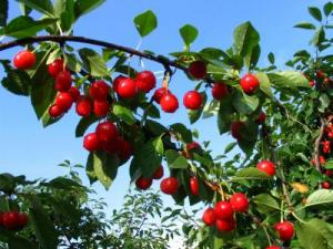 Queen cherries to start the season in spring
