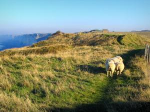 Alabaster coast - Grassland, sheeps and cliffs, in the Pays de caux area