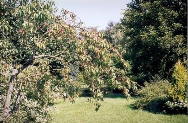 Gli alberi da frutto guida gastronomia e vacanze for Alberi da frutto