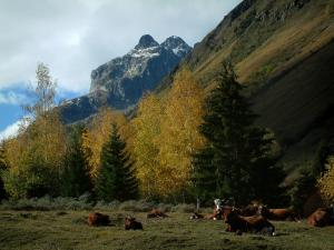Alps landscapes in the Savoie - Alpine cows, trees with autumn colours and mountains