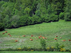 Ambazac mounts - Limousines cows in a meadow and trees
