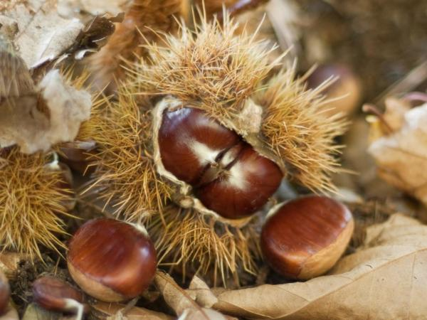 Ardèche Chestnuts - Gastronomy, holidays & weekends guide in the Ardèche