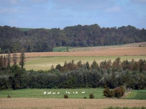 Ardre valley - Fields, herd of cows in a meadow, trees