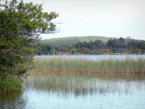 Aureilhan lake - Reedbed of the lake in a green setting