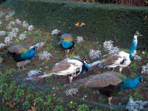 Bagatelle park - Peacocks of the park