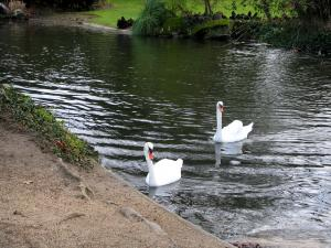 Bagatelle park - Two swans floating on the water