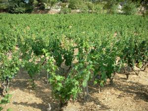 Bandol vineyards - Vines