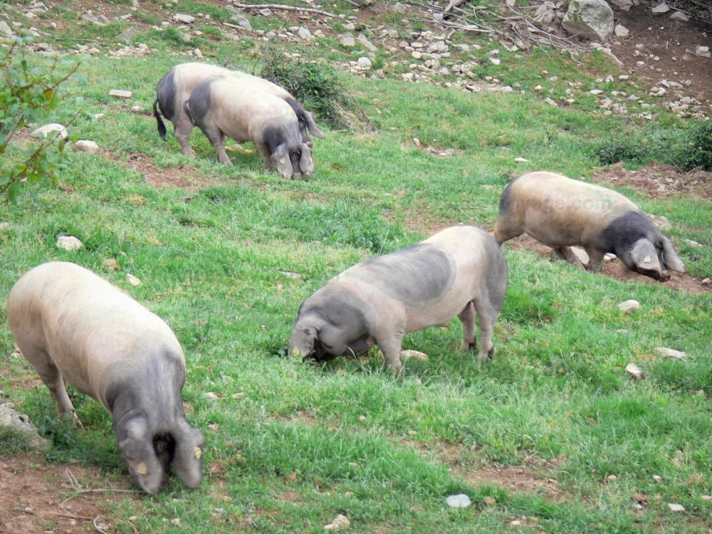 bilder das baskische schwein aus dem tal von aldudes f hrer gastronomie urlaub. Black Bedroom Furniture Sets. Home Design Ideas