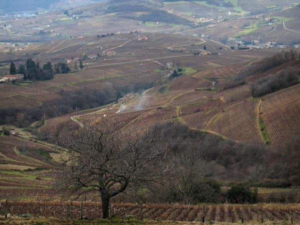 Beaujolais vineyards - Vineyards, trees and houses