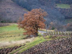 Beaujolais vineyards - Vineyards and trees