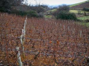 Beaujolais vineyards - Vineyards, shrubs and trees