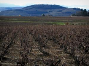 Beaujolais vineyards - Vineyards and hills