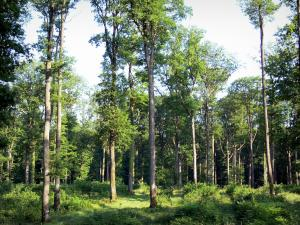Bellême forest - Trees and undergrowth of the forest, in the Perche Regional Nature Park