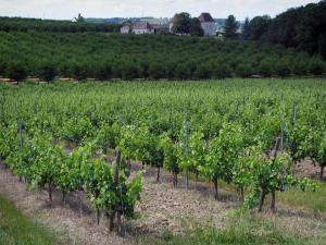 Bergerac Vineyards - Vineyards, trees and houses